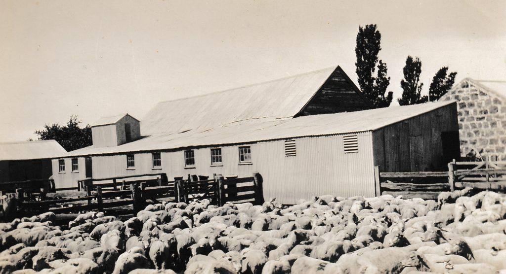 Shorn Sheep at Inverlochy